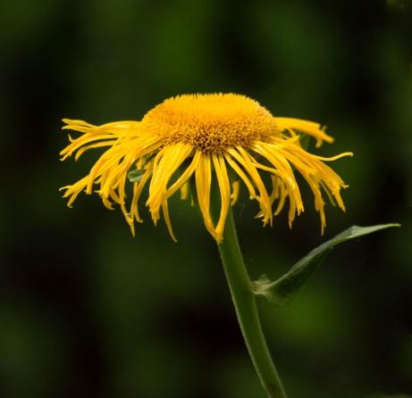 daisy1_edited-1